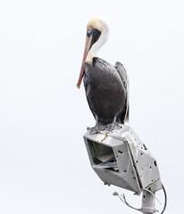 2018 Birds of the Mississippi River Delta (15) (maskirovka77) Tags: saintbernard louisiana unitedstates us river delta bird osprey fisheagle baldeagle shrike pelican egret