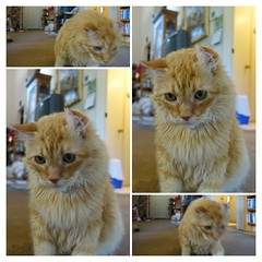 Montage of Nobuos (sjrankin) Tags: livingroom floor autoprocessed shinglesprings northerncalifornia california montage nobuo cat animal edited 29march2018 30may2015