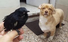 Negrillo y Roni (Santiago Stucchi Portocarrero) Tags: roni perro can cane chien hund hound dog negrillo ave tordo bird uccello santiagostucchiportocarrero