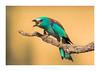 Song of the colors (http://www.jcfajardophotography.com/) Tags: animals aves birds caleraylaschozas carracaeuropea castillalamancha coraciasgarrulus españa europeanroller fauna naturaleza nature spain toledo vidasalvaje wild wildlife caleraychozas es nikon nikond800 d800 nikonlenses nikonlens nikonnature nikkor nikkorlenses nikkorlens nikkor300mmf28 nikkor300mmf28vr edlenses ed edlens goldenring primelens prime primelenses f28 300mmf28 tc tc2x nikkortc2eiii birding birdwatching bird birdwatcher birdlife wildphotographer wildlifephotographer naturephotographer natura2000 naturepics natureimages colors summer ngc