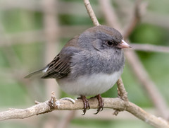 Winter Visitor (tresed47) Tags: 2018 201803mar 20180302homebirds birds canon7d chestercounty content darkeyedjunco folder home march pennsylvania peterscamera petersphotos places season sparrow takenby us winter