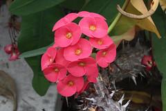 Euphorbia milii var. hislopii (N.E.Br.) Ursch & Leandri - BG Meise-01 (Ruud de Block) Tags: meisebotanicalgarden nationaleplantentuinmeise jardinbotaniquemeise ruuddeblock euphorbiaceae milii hislopii euphorbiamiliivarhislopii euphorbia