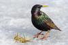 European starling (elfsprite) Tags: kottarainen commonstarling europeanstarling sturnusvulgaris viikki vanhankaupunginlahti pornaistenniemi helsinki bird lintu nikond500 nikkor20050056