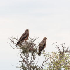 The yellow-billed kite. (annick vanderschelden) Tags: kite bird birdofprey c35 khorixas kamanjab fransfontein milvusaegyptius afrotropic yellowbill animal wildlife namibia nature desert belgium