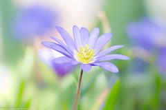 Blaue Anemone | Pastelfarben des Frühlings (AnBind) Tags: 2018 motive pflanzen garten technik frühling makro blaueanemone frühlingsblüher jahreszeit ngc npc
