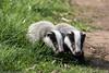9Q6A9527 (2) (Alinbidford) Tags: alancurtis alinbidford badgercubs brandonmarsh nature wildlife