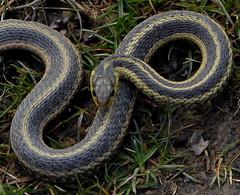 Unhappy Snake (mudder_bbc) Tags: mudcreekenvironmentallearningcenter ghent newyork parks snakes gartersnake easternribbonsnake youlookinatme theworldisbeautiful