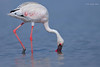 Foraging Portrait..... (Anirban Sinha 80) Tags: nikon d610 fx 500mm f4 ed vrii n g bokeh bird flamingo lesser beak filterfeeding portrait pink