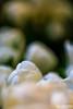Spring White (gvonwahlde) Tags: white tulips flowers galleria flowershow spring minnesota canon canon6d 100mmmacro vonwahlde dof mn