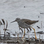 Greater/Lesser? Yellowlegs thumbnail