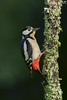 Pica-pau-malhado-grande, The Great Spotted Woodpecker(Dendrocopos major) (Nuno Xavier Moreira) Tags: toutinegradebarrete eurasianblackcapsylviaatricapillaemliberdadewildlifenunoxavierlopesmoreirangc animals animais aves de portugal observação nature natureza selvagem pics wildlife wildnature wild photographer birds birding birdwatching em bird ao ar livre ornitologia ngc nuno xavier moreira nunoxaviermoreira liberdade national geographic all xpress us dendrocoposmajor greatspottedwoodpecker