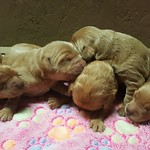 Maggie and Scotty's 5 girls and 7 boys ! This litter goes home on June 9th ! Contact us for availability on Maggie's litter !
