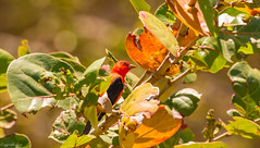 Scarlet Tanager (agnish.dey) Tags: birding bird birdwatching bokeh red migration wildlife warbler tree green naturallight nature naturephotograph songbird sunlight spring nikon florida leaves