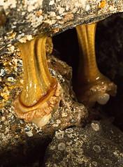 Canon EOS 5D Mark IV - 0C4A0344 20k iso! (rogerbtree) Tags: marinelife lowtide seaanemone starfish macro canon5div edmondsferry pugetsound