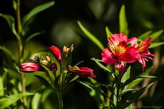 Alstroemeria / Peruvian lily or lily of the Incas