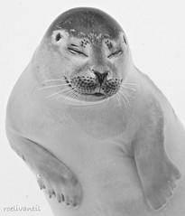 Genieten/ Enjoying (roelivtil) Tags: 7dwf blackwhite monochrome monochromebokehthursday seal texel zeehond zwartwit