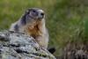 Alpine Marmot (fascinationwildlife) Tags: animal mammal wild wildlife nature natur national park hohe tauern alps alpine alpen marmot murmeltier cute rock austria österreich europe