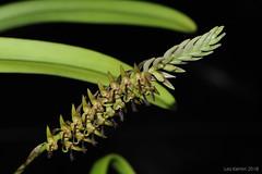 Bulbophyllum cochleatum (LukusuziRiver) Tags: orchid bulbophyllum