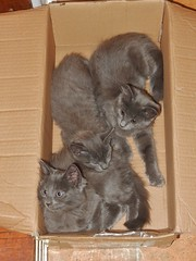A Box of Kittens (mikecogh) Tags: seaton kittens gray cute box family siblings close affectionate