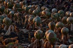 Friedhof der Kohlköpfe (grafenhans) Tags: sony alpha 68 a68 alpha68 slt tamron 4056 70300 usd feld kohl grafenwald bottrop nrw farben color abendsonne