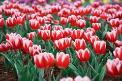 鬱金香 (aelx911) Tags: a7rii a7r2 sony gmaster fe2470mmf28gm fe2470 fe2470gm landscape flower nature colorful tulip taiwan taipei 台灣 台北 花卉試驗中心 鬱金香