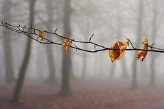 Left over (peeteninge) Tags: leaf trees forest mist fog weather nature bladeren bomen bos natuur fujifilmxt2 fujifilm xf80mmf28