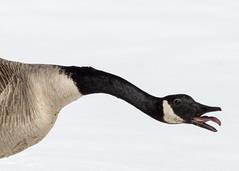 Week 17 Creative:Humor (arlene sopranzetti) Tags: dogwood2018 canadian goose humor raspberry bird winter nj lenape park tongue