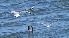 ein Fang, der Begierde weckt! (karinrogmann) Tags: kormoran fisch möwen rhein cormorant fish gulls rhine cormorano pesce gabbiani reno