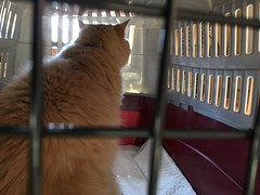 At the Vet Again (sjrankin) Tags: 24march2018 edited animal cat norio closeup carrier catcarrier catcage kitahiroshima hokkaido japan vet window