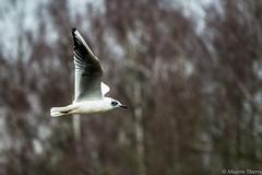 Mouette rieuse (musette thierry) Tags: mouette rieusse annimal bird oiseau musette thierry d800 belgique vole