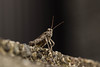 DSC_0017 (Hachimaki123) Tags: 日本 japan animal 動物 insect insecto 虫 orthopteran ortóptero ortoptero grasshopper saltamontes バッタ