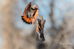 March 17, 2018 - Northern Flickers battle along the South Platte River. (Tony's TakeS)
