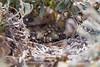 Crested Lark nest with chicks_w_2396 (Daly Wildlife) Tags: protaras ammochostos cyprus cy