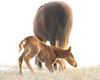 You Can Do It (overthemoon3) Tags: foal wildhorses wildlifephotography nature rooseveltnationalpark