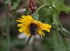 Explorando entre los dientes de león. (angelalonso4) Tags: natura nature explore explorar 90mm f8 flower insectos tamron canon flora