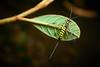 Scorpion Wasp (Ichneumonidae), Singapore (singaporebugtracker) Tags: singaporebugtracker stinger yellowwasp long ovipositor parasitoidwasp ichneumonwasp scorpionwasp stirrer blackandyellow latteart spoon insectwithspike wasp transparentwings syringe