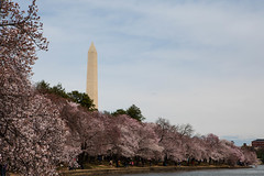 Washington Monument Behind Cherry Blossoms