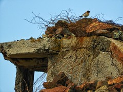 Watching (panoskaralis) Tags: finch goldfinch bird rusty zoom nature abandoned sky bluesky stone stractures lesvos lesvosisland mytilene greece greek hellas hellenic outdoor nikon nikoncoolpixb700