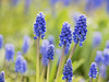 Spring's Greatest Joy (Synapped) Tags: grape hyacinth flower purple spring