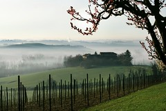 after the castle (momentcollection) Tags: vineyard cascina prunus cherryblossoms fog monferrato