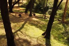 Kangaroos under the trees near Lake Bellfield, Grampians, Victoria, Australia (Red Nomad OZ) Tags: grampiansnationalpark kangaroo lakebellfield victoria australia grampians