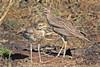 SENEGAL  THICK-KNEE // BURHINUS  SENEGALENSIS (38cm) (tom webzell) Tags: naturethroughthelens