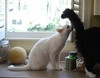 inspection (rootcrop54) Tags: charlie white allwhite male cat batman tuxedo mittens kitchen counter cantaloupe neko macska kedi 猫 kočka kissa γάτα köttur kucing gatto 고양이 kaķis katė katt katze katzen kot кошка mačka gatos maček kitteh chat ネコ