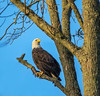Bakd Eagle.... (Kevin Povenz Thanks for all the views and comments) Tags: november 2017 kevinpovenz westmichigan michigan ottawa ottawacounty ottawacountyparks grandravinesnorth park nature wildlife bird birdsofprey outside outdoors canon7dmarkii sigma150500 tree blueskies perch sitting