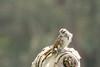 DSC_0953.jpg Song Sparrow, Schwan Lake (ldjaffe) Tags: schwanlake twinlakes