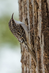 Brown Creeper on a Red Oak Tree in Michigan (Lee Rentz) Tags: april browncreeper canadianlakes certhiaamericana america animal bark beak behavior bill bird birding birdwatching brown camouflage camouflaged centralmichigan creeper curved deciduous decurved early feeding food foraging forest furrows inconspicuous insects little littlebrownbird lowerpeninsula mecostacounty michigan northamerica northernhardwoodforest oak season small spiders spring tail tiny tree trees trunk usa vertical wildlife woods