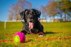 DSC_0113 (Daniel Maclachlan) Tags: labrador crossbreed ball play grass footbal pitch black dog collie
