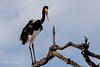 Saddle-Billed Stork Female (mayekarulhas) Tags: saddle stork southafrica bird avian canon safari krugernationalpark krugerpark tree animal sky