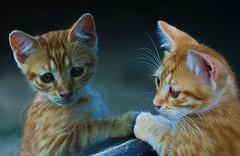 feline reflections (robertoburchi1) Tags: animali animals cats gatti reflexes riflessi specchio