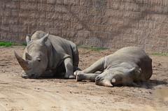 DSC_5271 (Andrew Nakamura) Tags: animal mammal rhino rhinoceros whiterhino southernwhiterhinoceros lyingdown sandiegozoosafaripark safaripark escondido